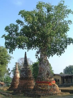 Wat Naphramera - a tree growing right on top of a stupa