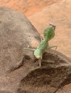 A praying mantis [we THINK!], relaxing on a rock at Banteay Srei.